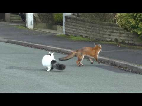 fox and cat playing together
