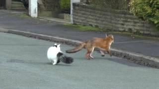 俺についてこられるかな~♪ にゃ~にお~!キツネと猫がチキチキ追いかけっこ