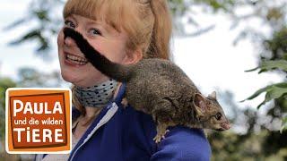 Die Possumbande  (Doku) | Reportage für Kinder | Paula und die wilden Tiere