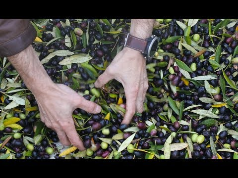 How Extra Virgin Olive Oil is Made | Olive Oil Production Educational Video