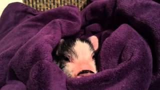 Baby potbelly pet pig in a blanket