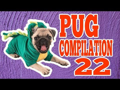 Pug Compilation 22 - Funny Dogs But Only Pug Videos | Instapugs