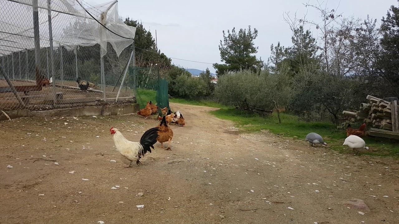 Foul fowl free videos