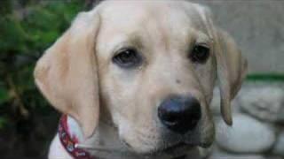 Cachorro Labrador Nukita