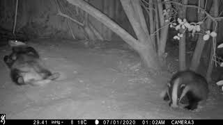 Badger cubs just chilling