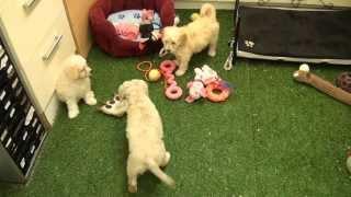 Little Rascals Uk Breeders New Litter Of Golden Cockapoo Puppies - Puppies For Sale 2015