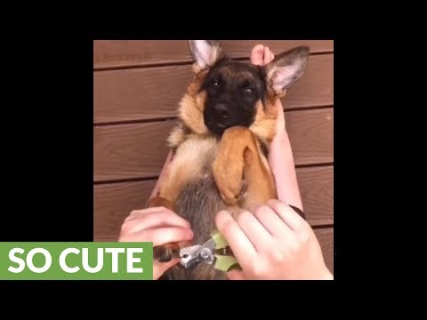 German Shepherd puppy enjoys getting pedicure