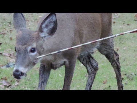 Deer Head Mount >> Deer pierced in the face by arrow - YouTube