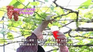 http://www.yamagatamoviemarket.jp/ 葡萄のメッカ 山形市本沢のデラウ...