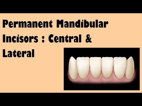 Permanent Mandibular Incisors