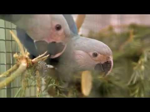 Einmaliges deutsch-brasilianisches Vogelschutzprojekt / In freier Natur ausgestorbener Spix-Ara soll ab 2021 wieder ausgewildert werden