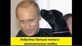 Лабрадор Путина попал в криминальные сводки  №1453