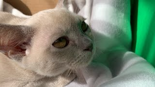 Burmese cat's reaction of our new cat
