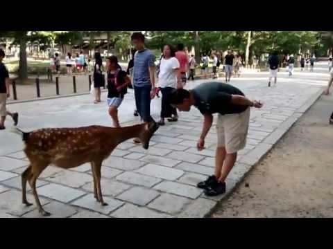 Cute Japanese Polite Bowing Deer (Nara Park, Japan)