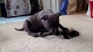 APBT=アメリカンピットブルテリアの販売可能なメスの子犬です。 ピット...
