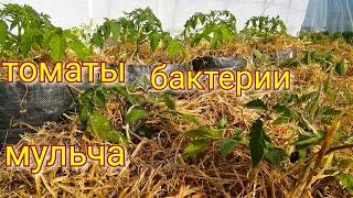 Мульча для ТОМАТОВ/ Бактерии/ Томаты в теплице/ #томаты #деревня #огород #мульча #tomatoes