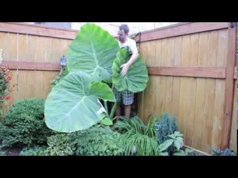 Colocasia Gigantea Thailand Giant Elephant Ear Update August