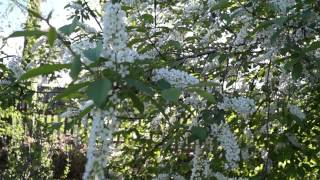 20130529183651 1)  Черёмуха в цвету и трели соловья