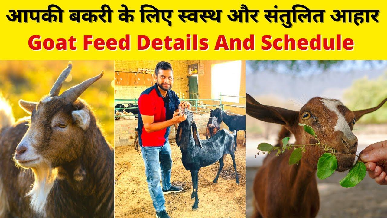 बकरी मोटा तगड़ा करने वाली फीड  Goat Feed Formula by Sr Commercial Goat Farm Sirsa Haryana