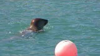 Seal playing at Gorran Haven
