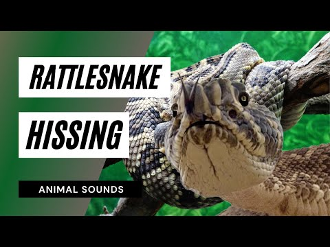 The Animal Sounds: Rattlesnake Noises - Sound Effect - Animation
