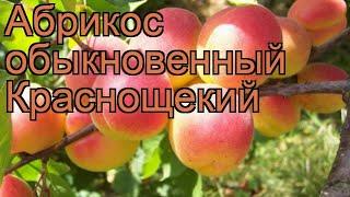 Абрикос обыкновенный Краснощекий (krasnoshchekii) 🌿 обзор: как сажать, саженцы абрикоса Краснощекий