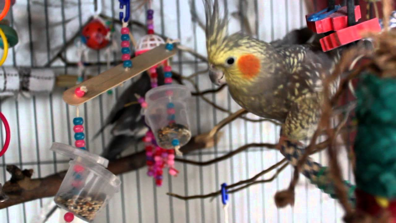 Babies Playing With Toys Cockatiels Playing With Teeter Forager By Birdee Toys