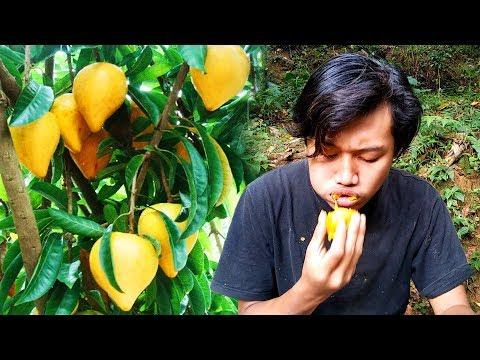 Memetik dan makan buah Alkesah / Sawo Belanda di hutan.