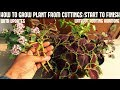 How to Grow Coleus From Cuttings (WITHOUT ROOTING HORMONE)