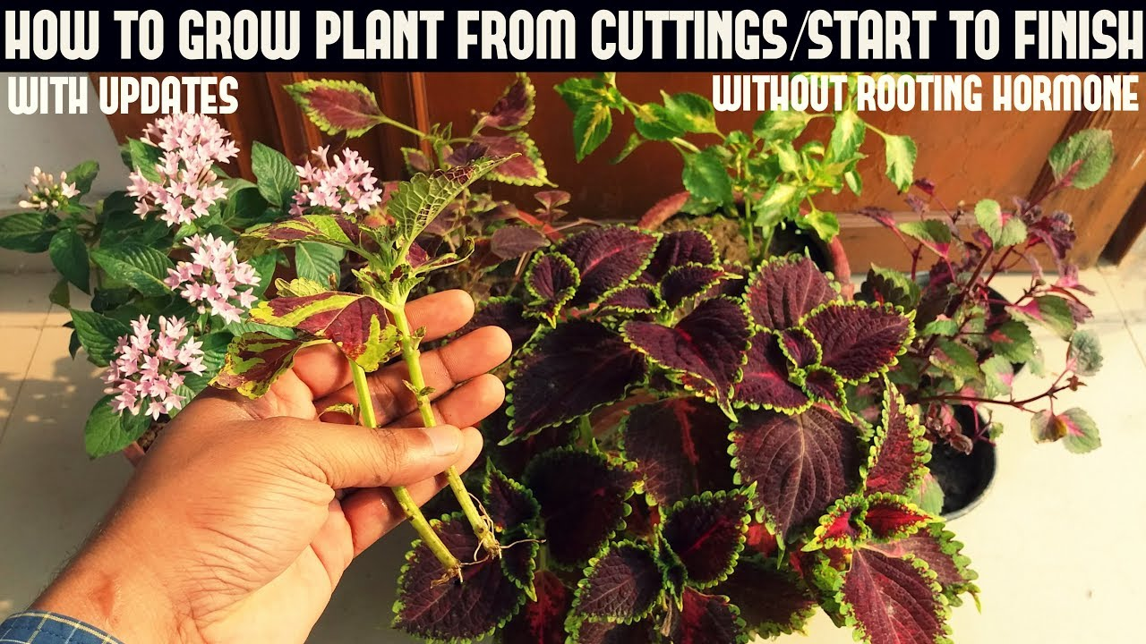 How To Grow Coleus From Cuttings Without Rooting Hormone Youtube