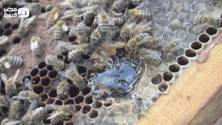 فيديو| تربية النحل.. العسل المسكوب