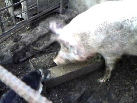 Свинья жрёт!