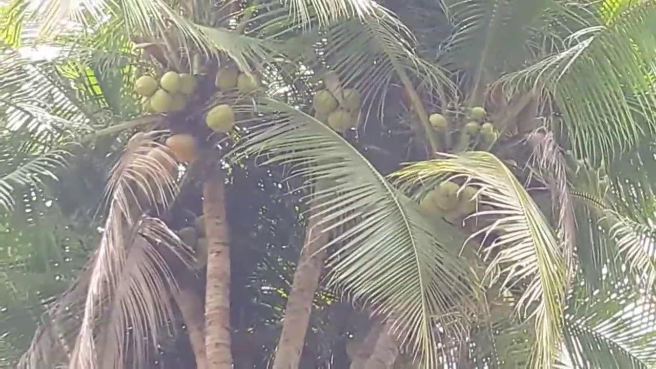 Mantap Satu Batang Pohon Kelapa Bercabang 9 Youtube