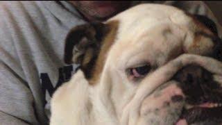 "Bad Boy ""otis The Bulldog"" Gets Scolded For Leg Humping"