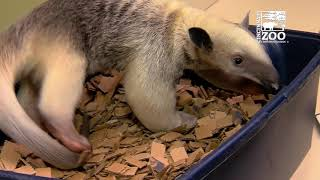 3 Month Old Tamandua Pup Mani is Getting Big - Cincinnati Zoo