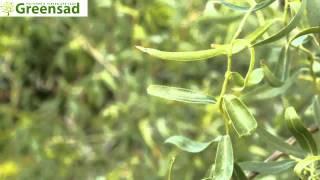 видео Ива Матсуды (фото) выращивание | Сайт о саде, даче и комнатных растениях.