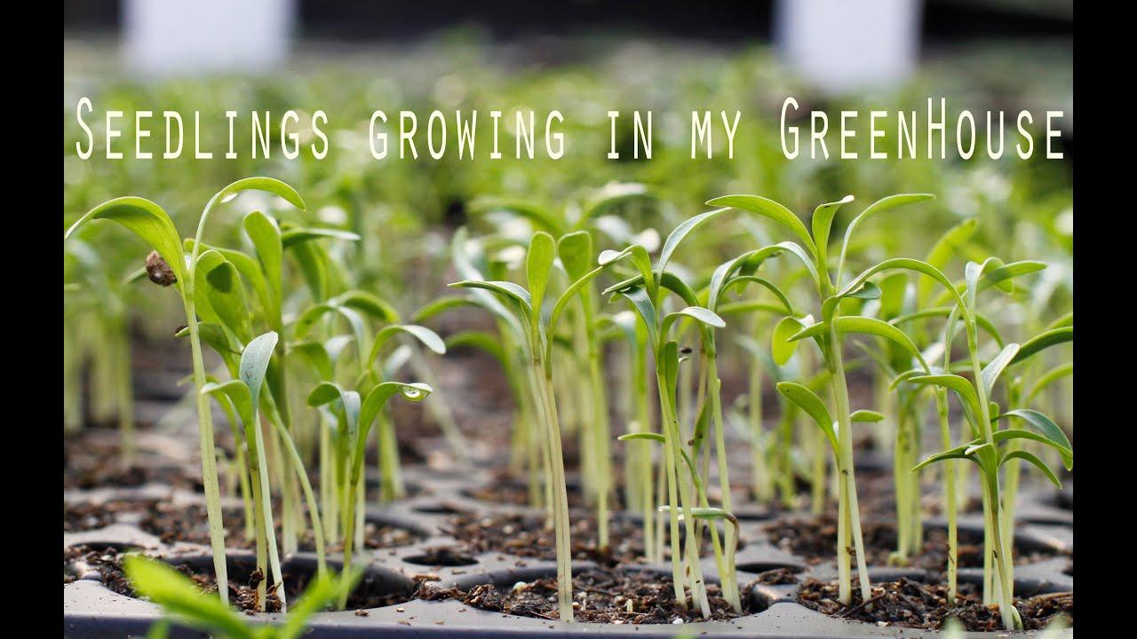 Lovely Seedlings Growing In My Garden: Greenhouse Update #1