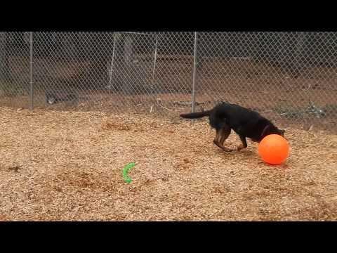 Dog Training with Herding Ball