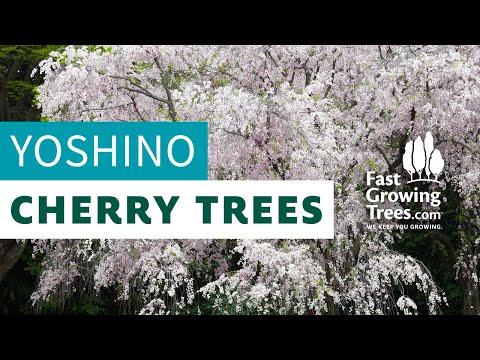 Yoshino Flowering Cherry Trees Fast Growing