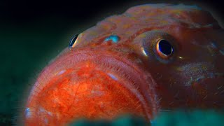 What Lurks in the Midnight Zone? | Blue Planet II | BBC Earth