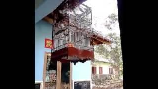 Suara Burung Pleci Dada Kuning (Dakun)