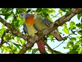 Suara Burung Punai Cocok Untuk Pikat 100 Datang Durasi Panjang Ngeplong(.mp3 .mp4) Mp3 - Mp4 Download