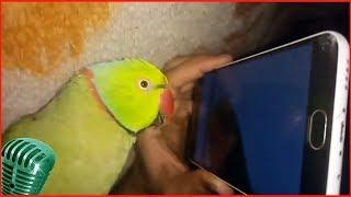 Смотреть самые смешные поющие попугаи! видео 2018 #7 видео приколы