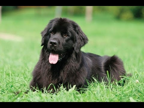 Newfoundland - Dog Breed