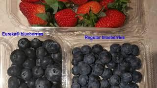 Worlds largest blueberry! Eureka® blueberries vs regular blueberries