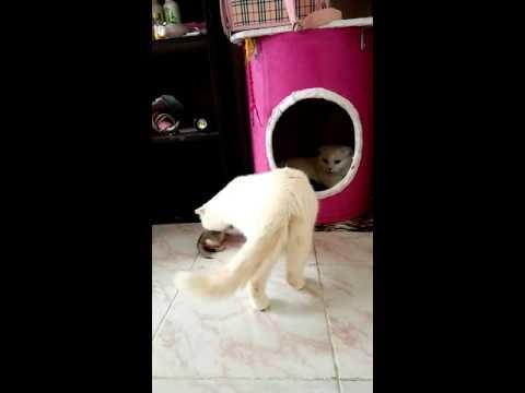 ฝากเลี้ยง#Scottish fold#Manekineko Cattery#Cat#Cute