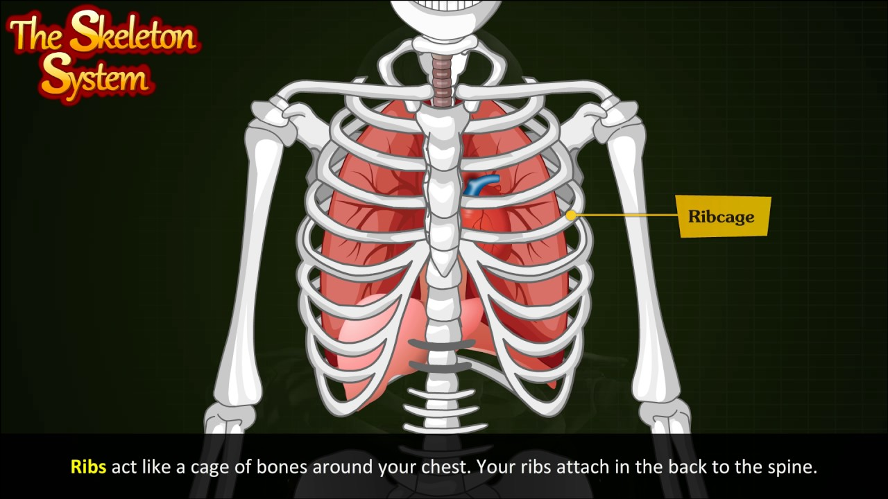 Skeletal System Of Human Body Youtube