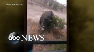 Rhino gives chase to tourists on safari l ABC News