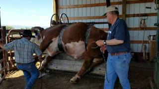 How to trim a big bulls hooves (loading the bull on the table)