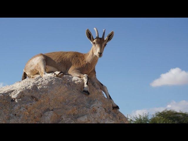 Negev Desert / The Nubian ibex conquers human domain ????? ?????? ?? ????? ??? ????